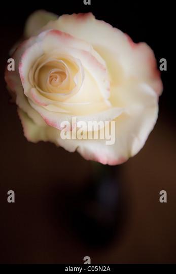 Nahaufnahme einer weißen und rosa Rosen Öffnung. Stockbild