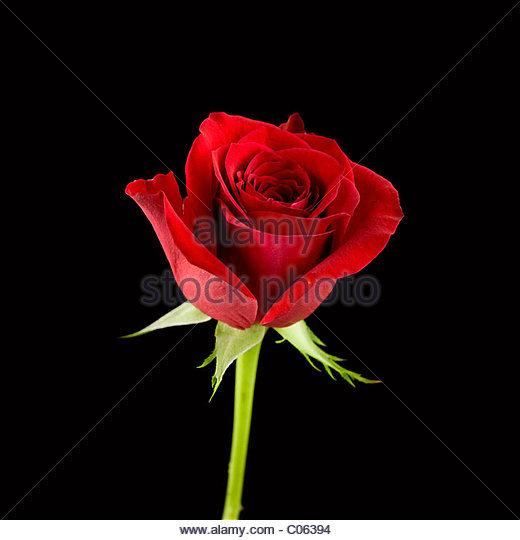 rote Rose auf schwarzem Hintergrund Stockbild