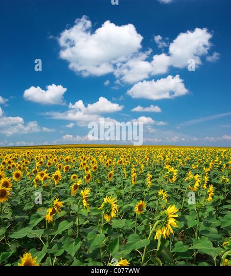 Großes Feld von Sonnenblumen. Zusammensetzung der Natur. Stockbild