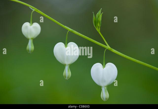 Altmodische Gutmensch, Venuss Auto, Dame in ein Bad, des Holländers Hosen oder Lyra-Blume (Dicentra Spectabilis Stockbild