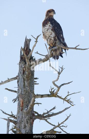 Eine unreife Weißkopfseeadler sitzt in einem Baum tot Salzwasser getötet, in der Nähe von Portage, Stockbild