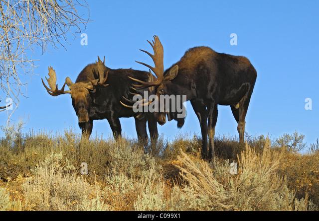 Bull Moose sparring. Stockbild
