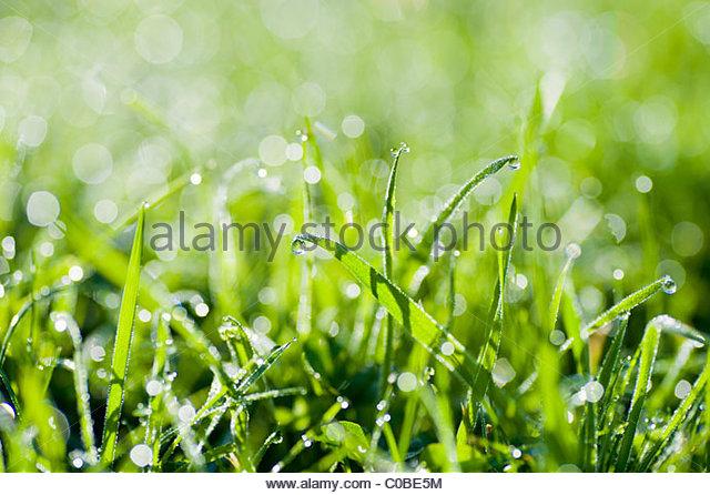 Nahaufnahme von Tautropfen auf dem Rasen. Stockbild