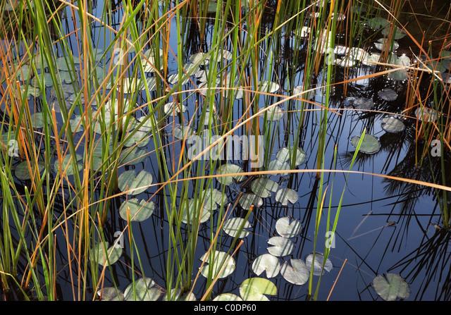 Stiller Teich mit Seerosen blühen im Wasser Stockbild