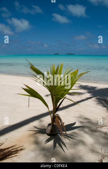 Kokosnüsse sind die wichtigsten Vegetation auf vielen Pazifikinseln Kokospalmen Sind Auf Vielen Badefan-Inseln Stockbild