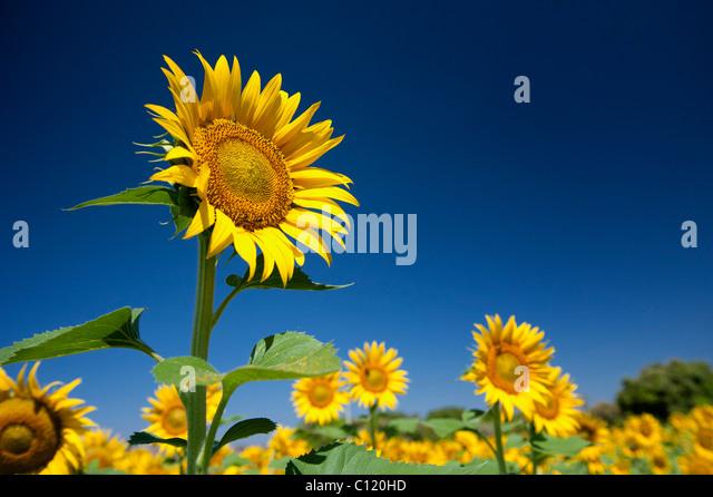 Anbau von Sonnenblumen in der indischen Landschaft, Andhra Pradesh, Indien Stockbild