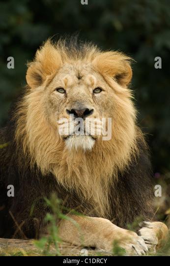 Asiatische Löwe (Panthera Leo Persica) Indien. In Gefangenschaft - Stock-Bilder