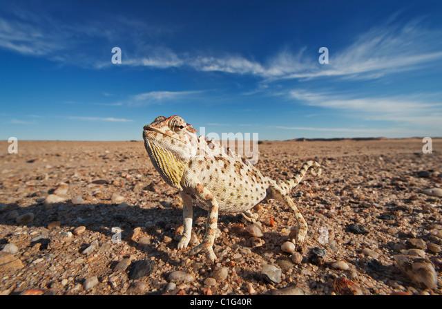 Namaqua Chamäleon (Chamaeleo Namaquensis) deren Lebensraum bestehen aus sandigen Gebieten der Namib-Wüste Stockbild