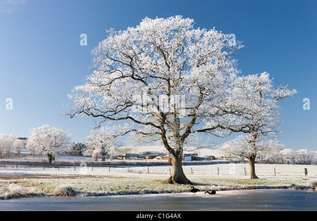 Hoar mattierte Baum am Ufer eines gefrorenen Sees, Morchard Road, Devon, England. Winter (Dezember) 2010. Stockbild
