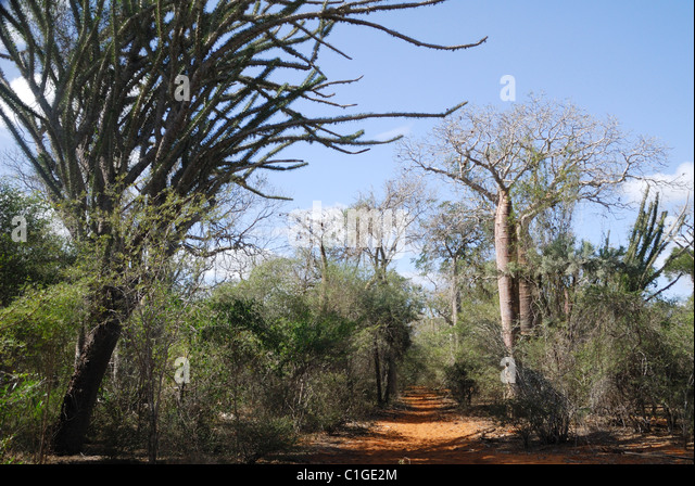 Stachelige Baobab Kaktus Wald im Reniala Naturreservat in Ifaty in Südwest-Madagaskar Stockbild