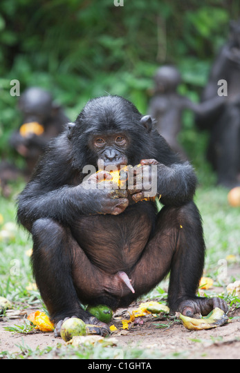Bonobo-Schimpansen Essen im Heiligtum Lola Ya Bonobo, demokratische Republik Kongo Stockbild