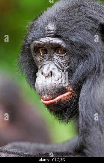 Porträt von Bonobo-Schimpansen am Heiligtum Lola Ya Bonobo, demokratische Republik Kongo Stockbild