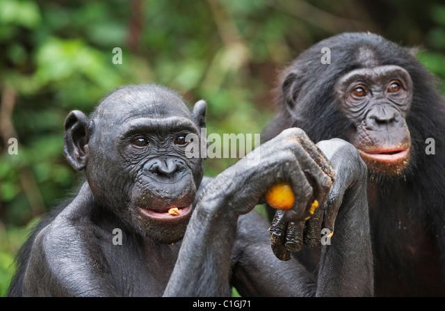Bonobo-Schimpansen am Heiligtum Lola Ya Bonobo, demokratische Republik Kongo Stockbild