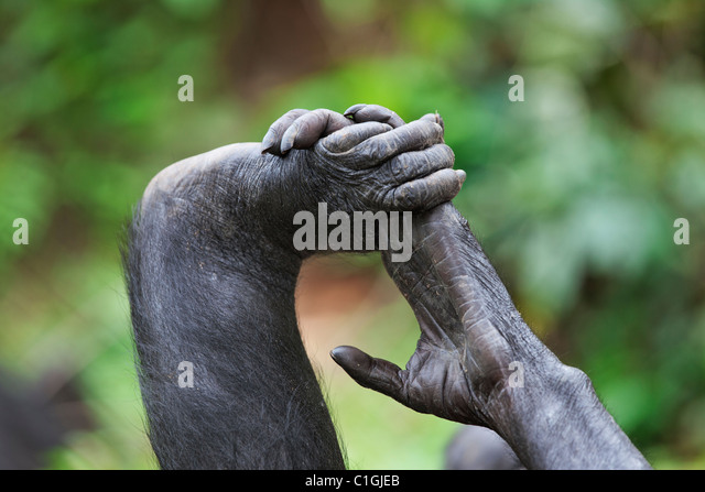 Hände und Füße der Bonobo-Schimpansen bei der Wallfahrtskirche Lola Ya Bonobo, demokratische Republik Stockbild