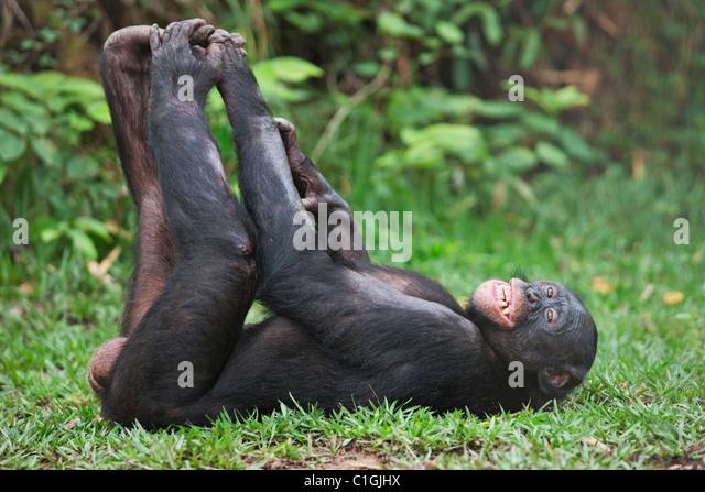Erwachsenen Bonobo-Schimpansen schlafen in das Heiligtum Lola Ya Bonobo, demokratische Republik Kongo Stockbild