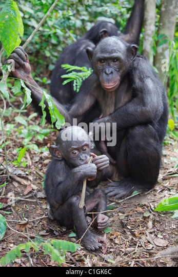 Erwachsenen und Baby Bonobo-Schimpansen bei der Wallfahrtskirche Lola Ya Bonobo, demokratische Republik Kongo Stockbild