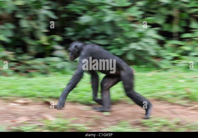 Erwachsenen Bonobo-Schimpansen zu Fuß in das Heiligtum Lola Ya Bonobo, demokratische Republik Kongo Stockbild