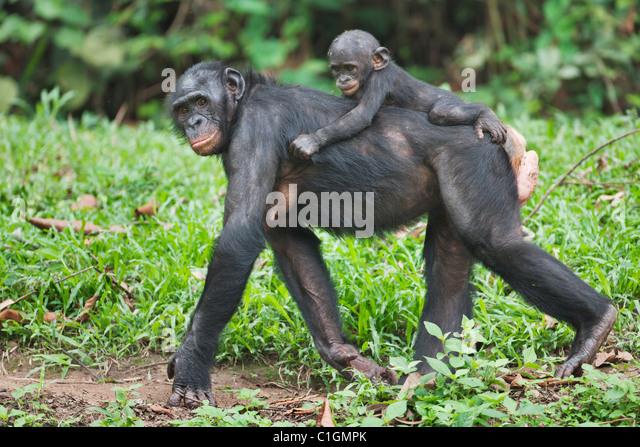 Mutter und Baby Bonobo-Schimpansen bei der Wallfahrtskirche Lola Ya Bonobo, demokratische Republik Kongo Stockbild