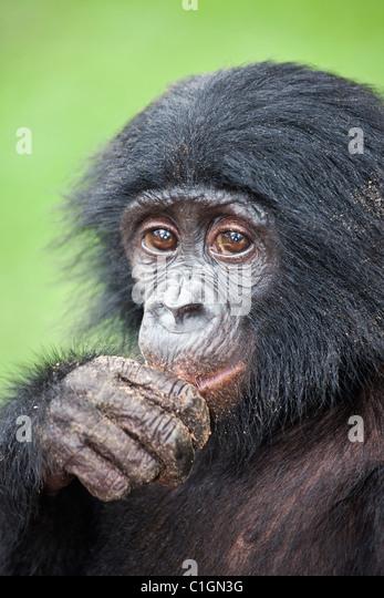 Baby Bonobo-Schimpansen Essen im Heiligtum Lola Ya Bonobo, demokratische Republik Kongo Stockbild