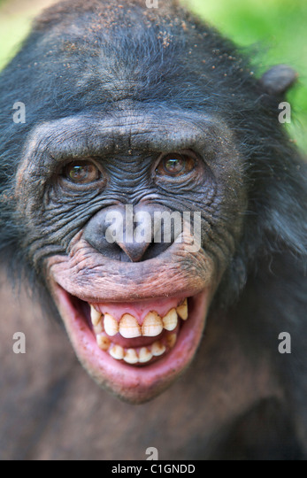 Erwachsenen Bonobo-Schimpansen am Heiligtum Lola Ya Bonobo, demokratische Republik Kongo Stockbild