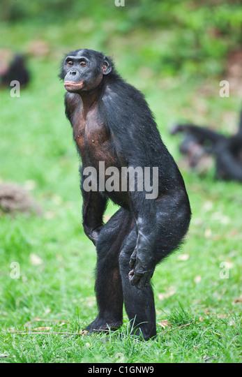 Erwachsene männliche Bonobo-Schimpansen am Heiligtum Lola Ya Bonobo, demokratische Republik Kongo Stockbild