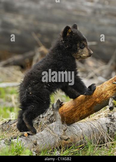 Black Bear Cub stehen Stockbild