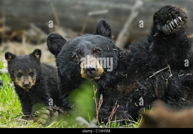 Mutter schwarzer Bär mit ihrem neuen Cub tummeln. Stockbild