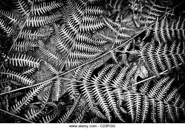 Pteridium aquilinum. Tote bracken fern Wedel Muster in einer englischen Wälder. monochrom Stockbild