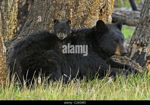 Cub an Bord Mutter Bär Stockbild