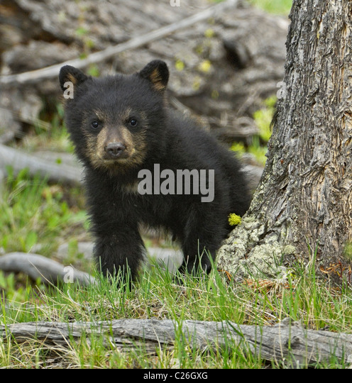 Schwarzbär Baby posiert Stockbild