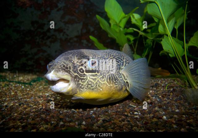 Der Kongo-Fluss-Kugelfisch (Tetraodon Mbu) Stockbild