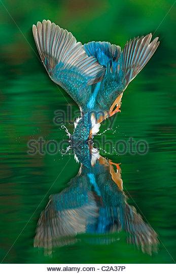 Ein erwachsener männlicher Eisvogel Alcedo Atthis, taucht in das Wasser. Stockbild