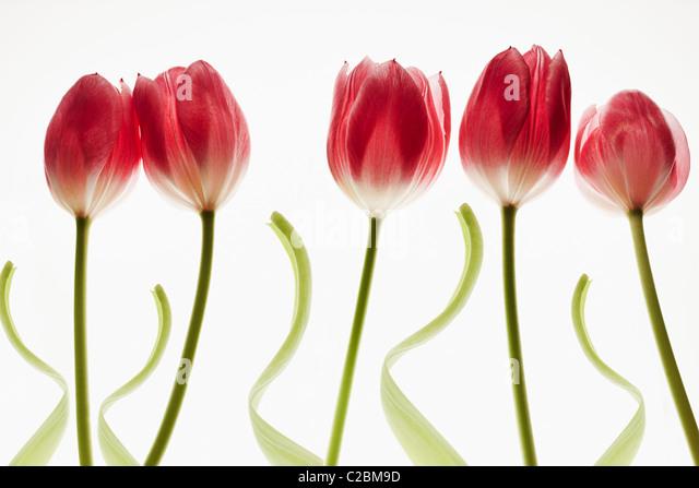 fünf rote Tulpen auf weißem Hintergrund Stockbild