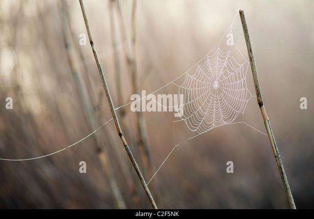 Spinnen-Web in nebligen Tau befestigt, in der englischen Landschaft Schilf abgedeckt Stockbild
