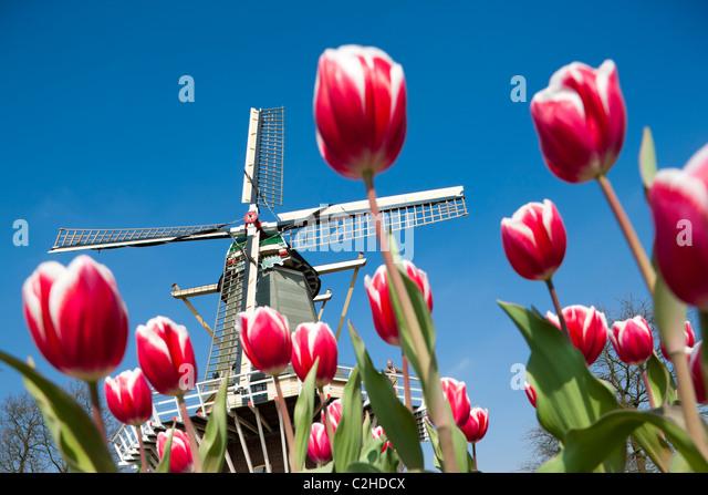 Keukenhof Gardens. Holländische Windmühle mit Miller und großen roten und weißen Tulpen im Keukenhof Stockbild