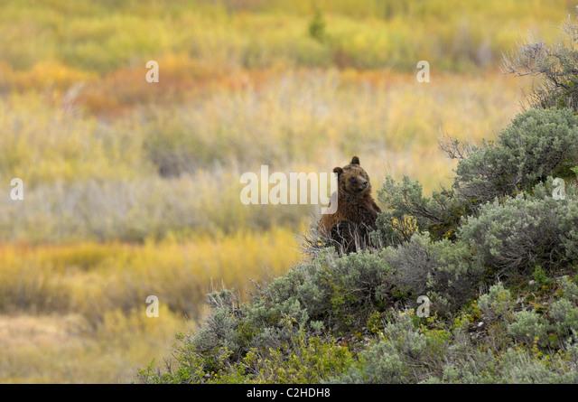 Grizzly Bear-Landschaft Stockbild
