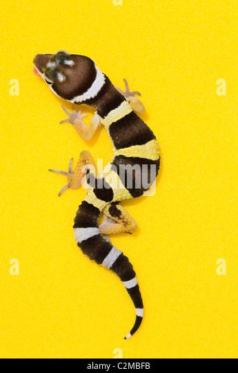 Baby Leopardgecko gelb Stockbild