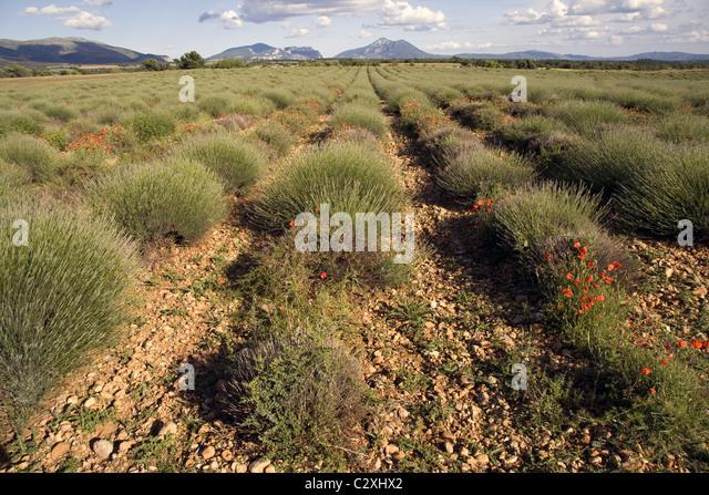 Lavendel, Plateau Valensole, Provence, Frankreich Stockbild