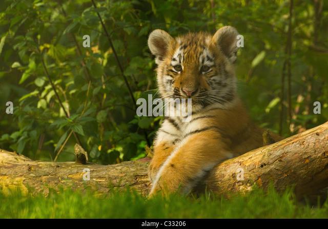 Sibirischen/Amur Tiger Cub auf Baumstamm Stockbild