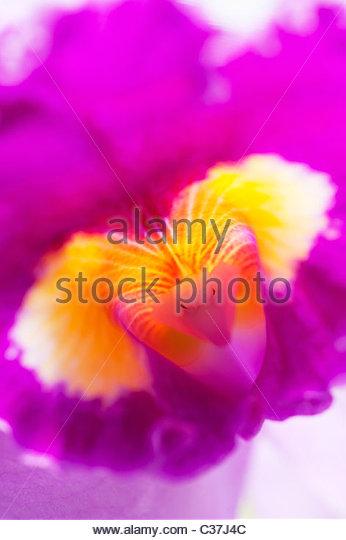 Laeliocattleya Prisma Palette. Der Clown Orchidee Blume Abstrakt Stockbild