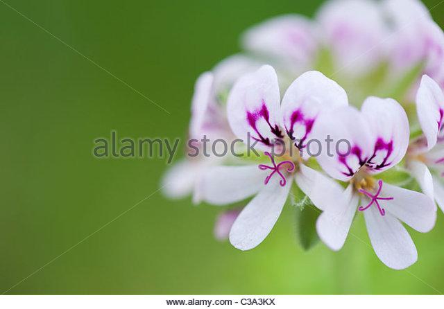 Pelargonium Graveolens. Duftenden Geranien oder Old Fashioned Rose Geranium Blumen Stockbild