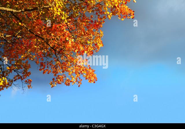 goldenen Buche Herbst Herbst Blätter stürmischen Wolke blauer Himmel Stockbild