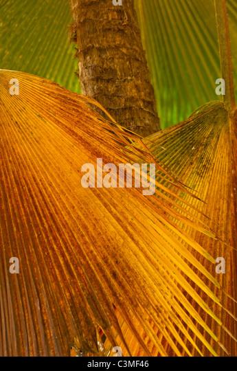 Bunte tropische Ventilator-Palmen, Molola Island Resort, Mamanucas, Fidschi Stockbild