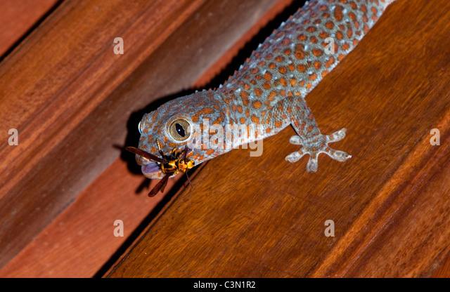 Indonesien, Bali-Insel, Tejakula, Cecak oder kleine Eidechse mit Auffangschale Libelle. Stockbild