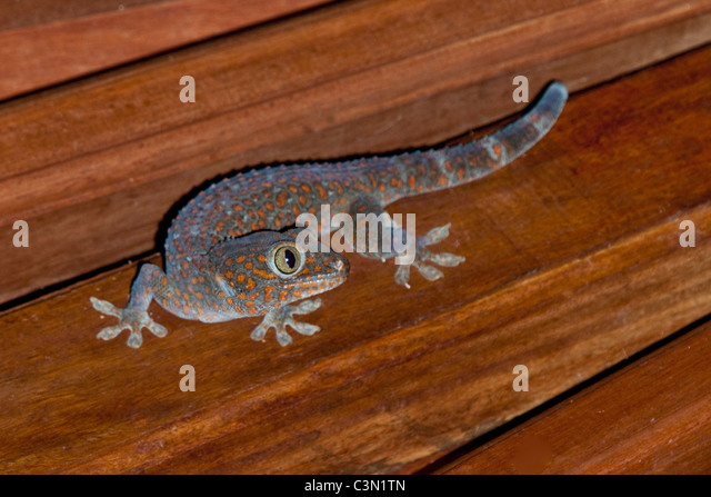 Indonesien, Bali Insel, Tejakula, Tokay Gecko (Gekko Gecko). Männlich Stockbild