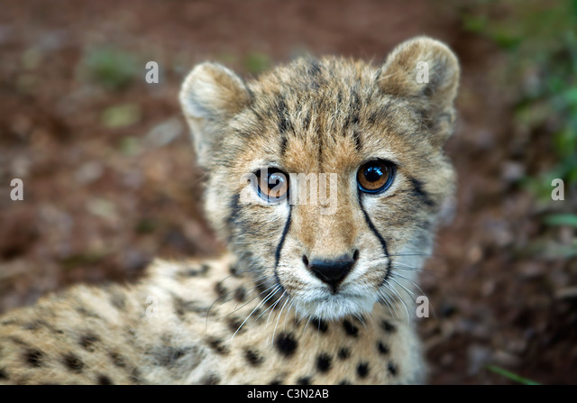 Südafrika, Pretoria, Gepard, Acionyx Jubatus. Cub 5 Monate alt. Gefangenschaft. Stockbild