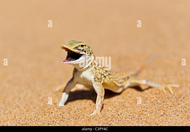 Afrika, Namibia, Schaufel-snouted Lizard in Namib-Wüste Stockbild