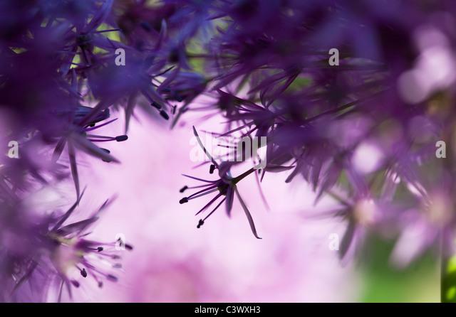 Allium purple Sensation Blume Abstrakt Stockbild