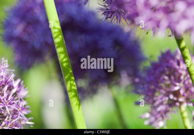 Allium 'Globemaster'. Blumen Stengel Sonnenlicht und Schatten abstrakt Stockbild
