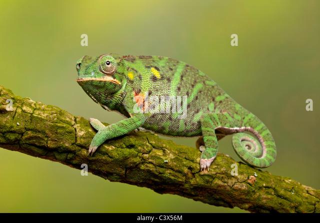Kleinere ist Chamäleon Furcifer minor, Madagaskar Stockbild